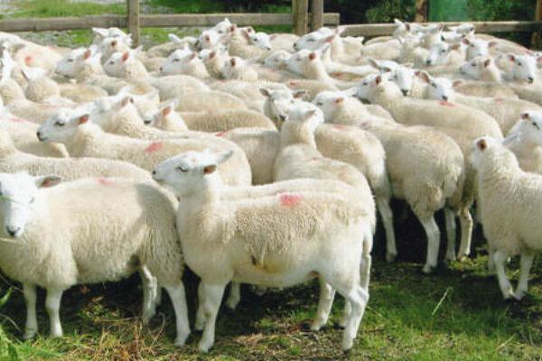 Easycare Lambs Pen