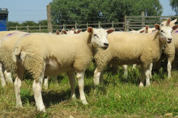 Beltex cross lambs at James Bartons 2019