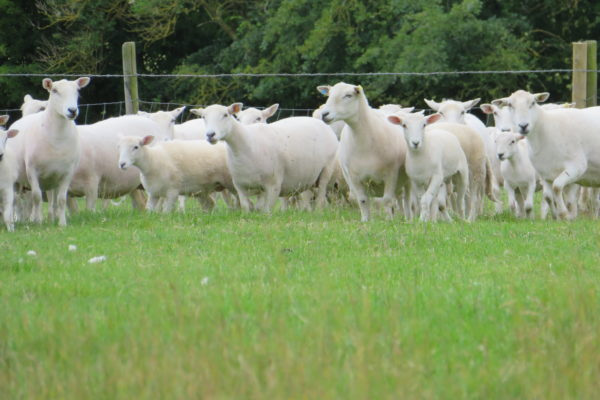 Ewes and lambs at foot s casswell 2019