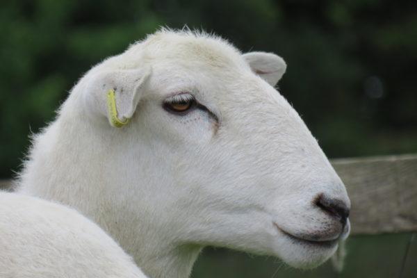 Head shot yearling ewe 2019