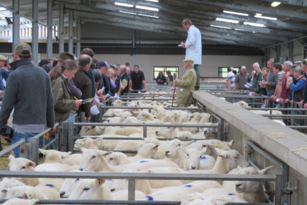 Easy Care Sheep Sale Photo 2017