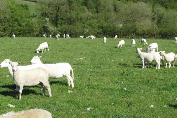 D Smith sheep three 2019