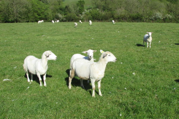 D Smith sheep two 2019