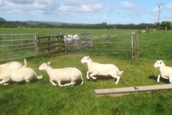 Evandavies ram lambs 2019