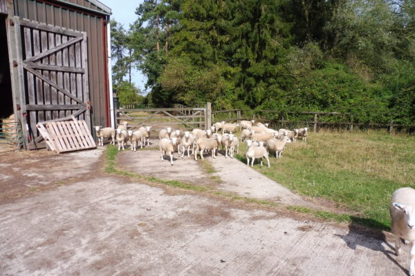 Stock For Sale and Stock Wanted - The EasyCare Sheep Society