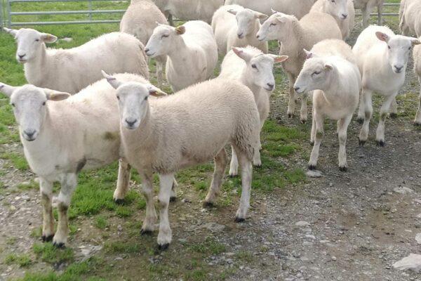 Mc Cullough ewe lambs