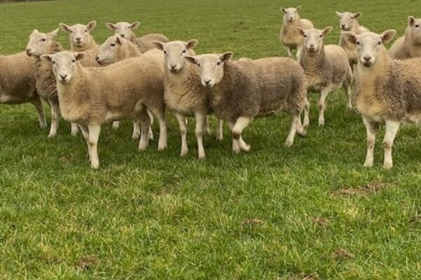Barton Ewe lamb1