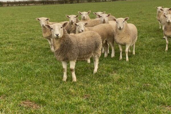 Barton ewe lamb 2