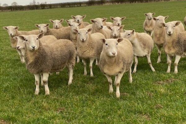Barton ewe lamb 4