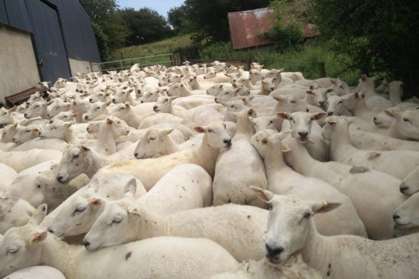 Easy Care Jim Greers ewes 2020