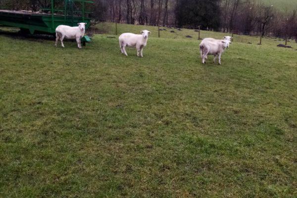 Easycare Ewe lambs 2020 J Hulme two