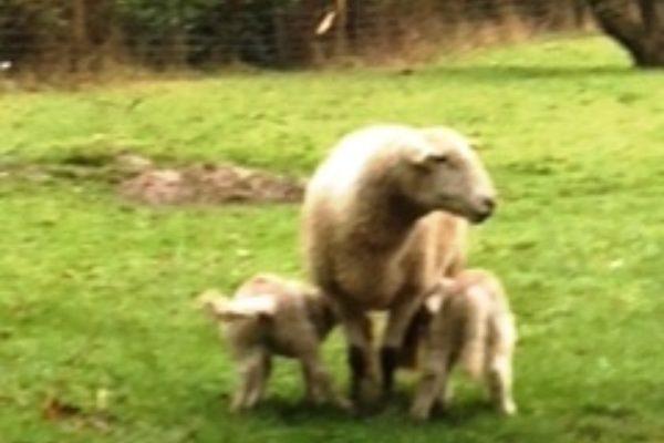John Sady Ewe With 2 Lambs April 2018