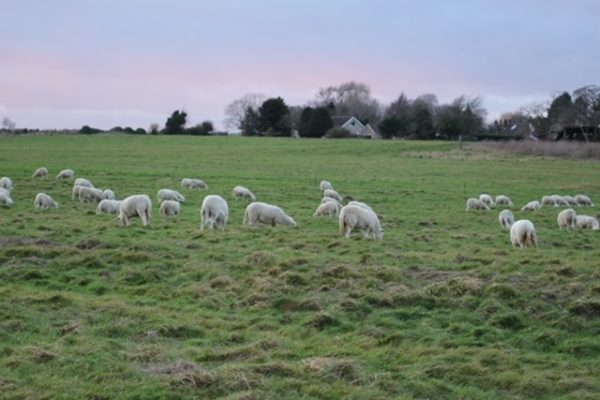 Cliffe ewes 3