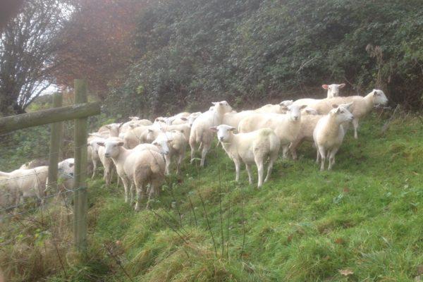 Bedford Ewe Lambs