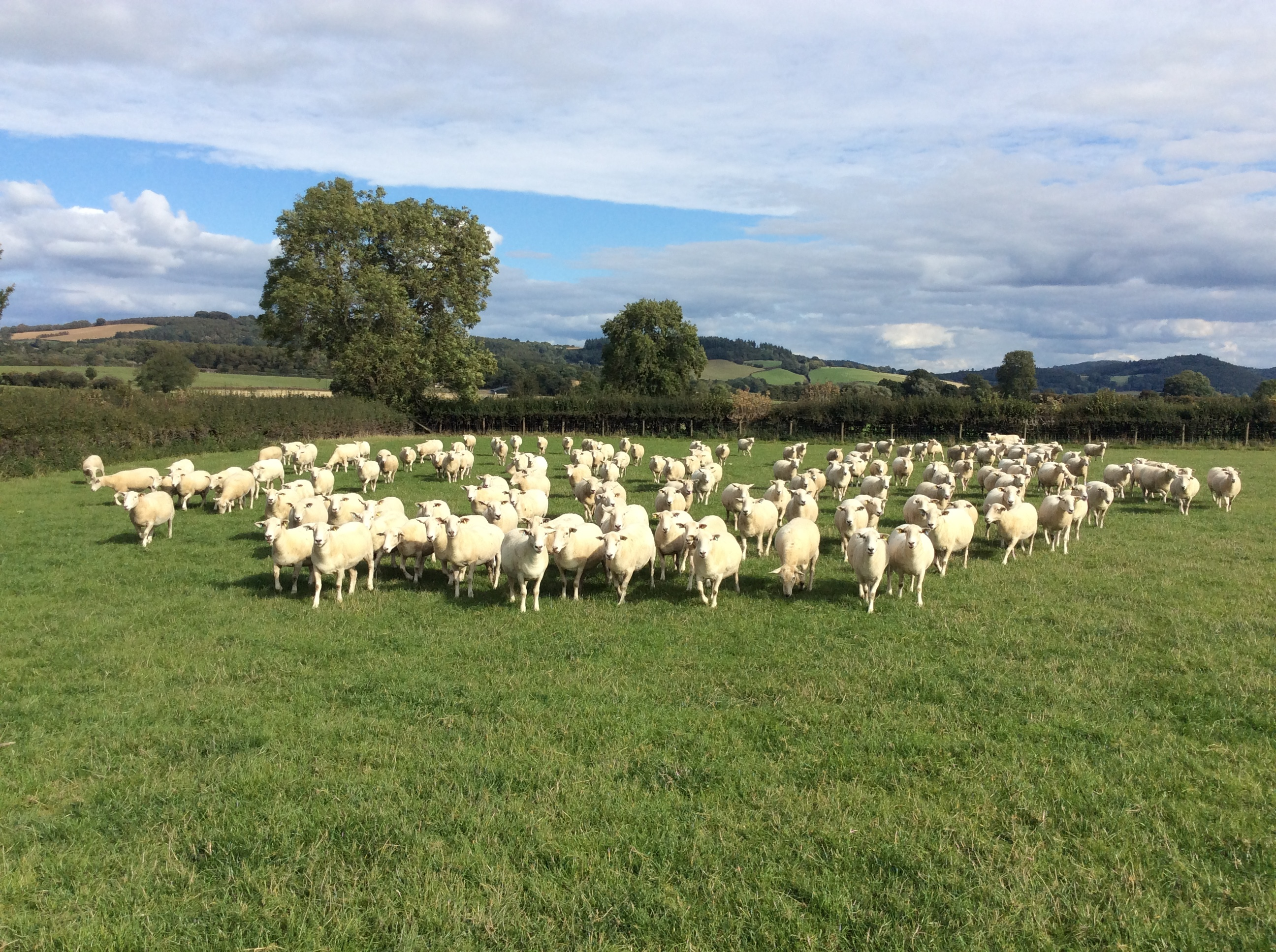 D Jones Sheep